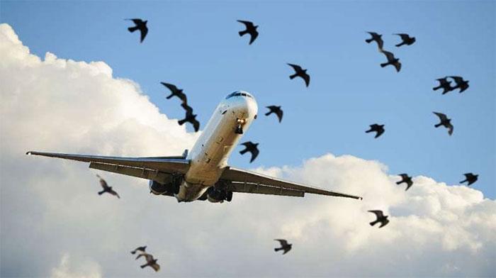 سی اے اے کا طیاروں کو پرندوں سےمحفوظ بنانےکےلیےآپریشن