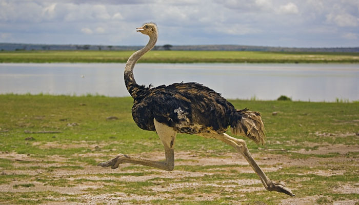 شتر مرغ کتنی تیزی سے بھاگ سکتا ہے؟