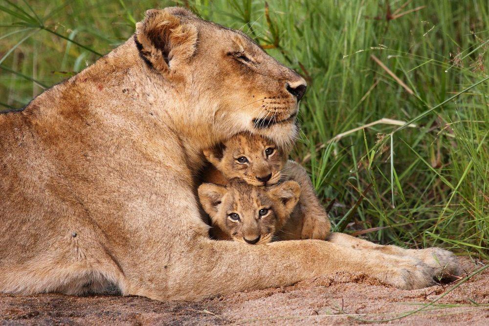 شیر ایک دن میں کتنے گھنٹے سوتا ہے؟