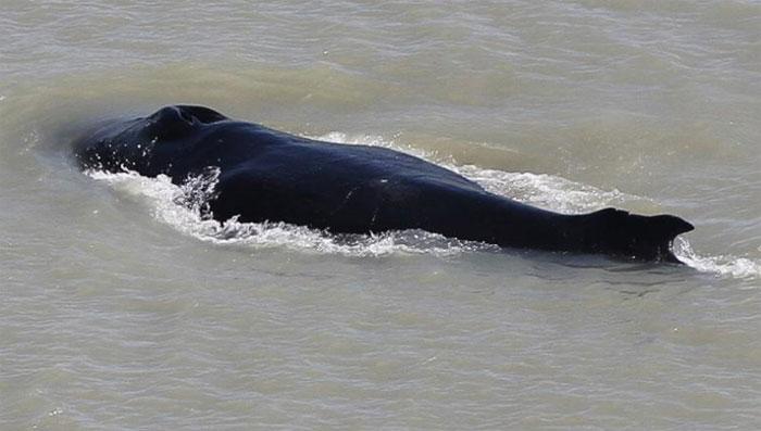 آسٹریلیا: 270 وہیل کم پانی میں پھنسنے سے 25 مرگئیں