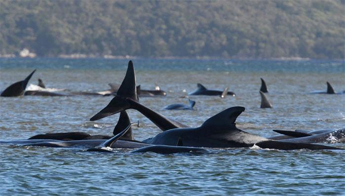 آسٹریلیا: کم پانی میں پھنسنے والی 380 وہیلز ہلاک، باقیوں کو بچانے کی کوششیں