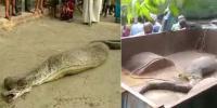 بھارت: مقامی لوگوں کی جانور نگلنے والے اژدھے کی مدد