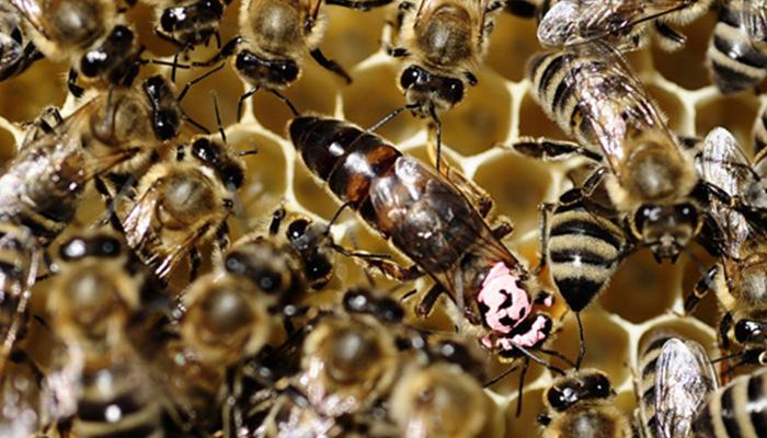 شہد کی مکھیوں نے انسانوں کی جان لے لی