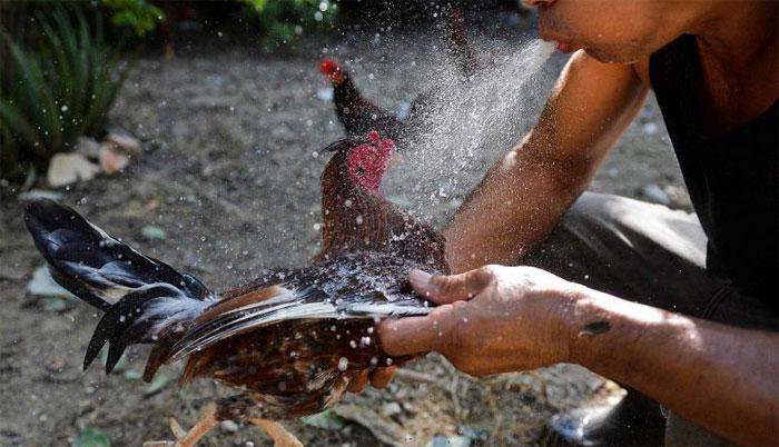 فلپائن مرغوں کی لڑائی پر چھاپہ، پولیس افسر مرغے کے پنجے پر لگا بلیڈ لگنے سے ہلاک