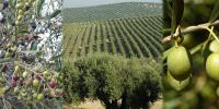 سوات میں زیتون کی 6 اقسام کے باغات