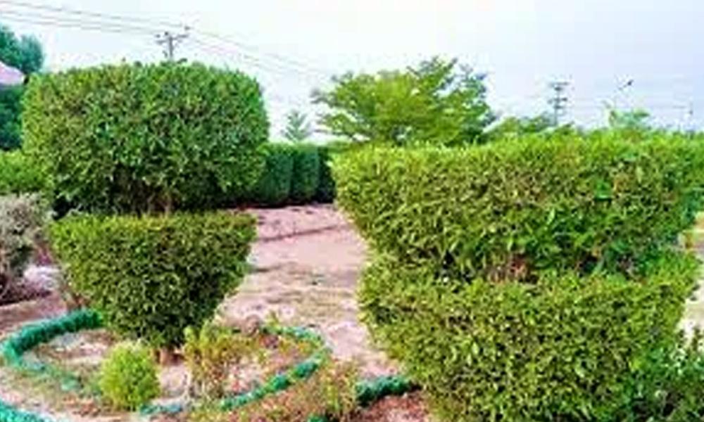 کونوکارپس ہٹانا حل نہیں، دوسرے درخت لگانا ضروری ہے