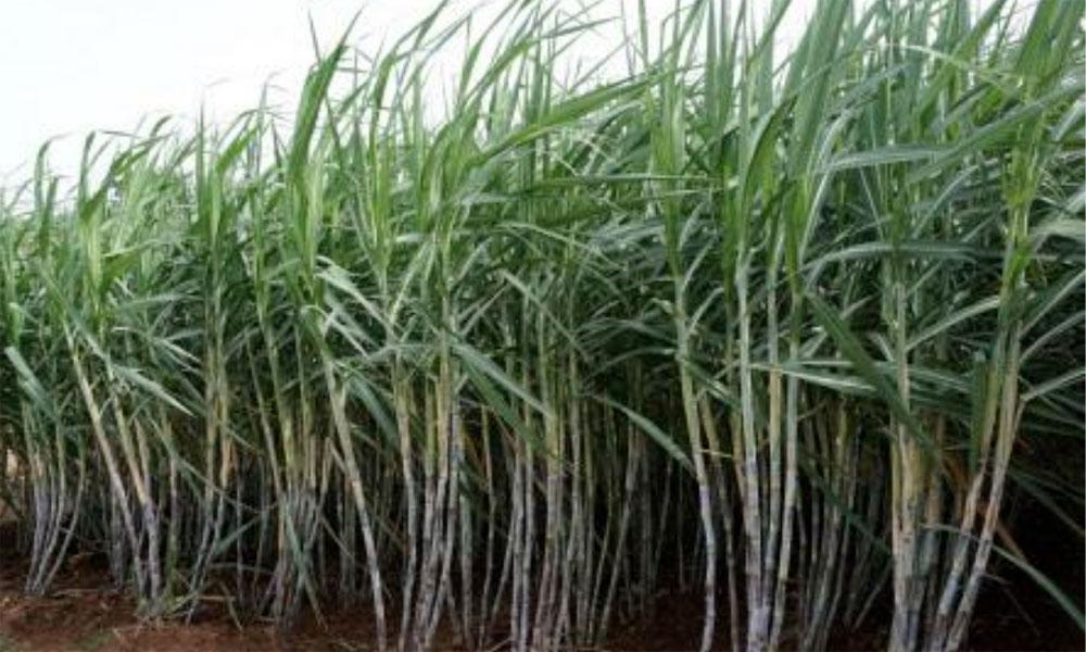 پنجاب : شوگر ملز کو کسانوں کے 1464 ملین فوری ادا کرنے کی ہدایت