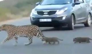 تیندوے کے بچے نے شرارت میں گاڑیاں روک دیں