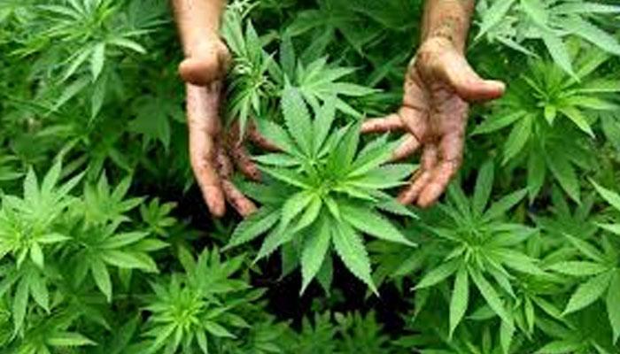 گانجا اور بھنگ منشیات کی خطرناک فہرست سے باہر