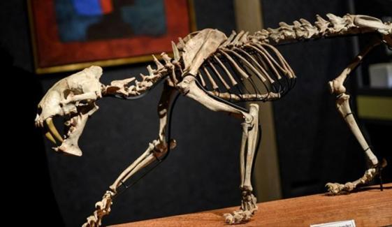 ساڑھے 3کروڑ سال قدیم چیتے کے ڈھانچے کی نیلامی کا اعلان