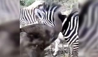 ہاتھی کے بچے کی زیبرا کے ساتھ کھیلنے کی ویڈیو وائرل