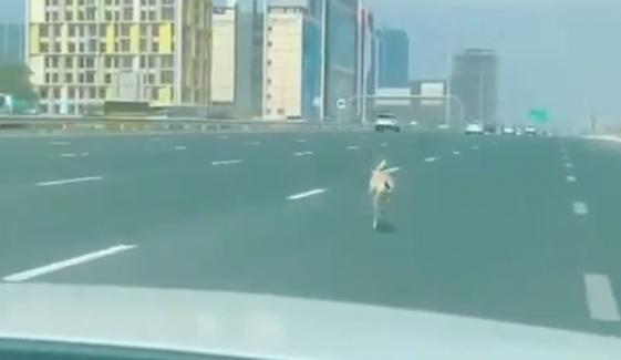 ہرن کی ہائی وے پر دوڑنے کی ویڈیو وائرل