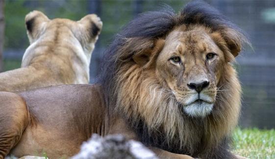 ملتان میں وائلڈ لائف کا گھر پر چھاپہ، دو شیر، دو چیتے برآمد، مالک فرار