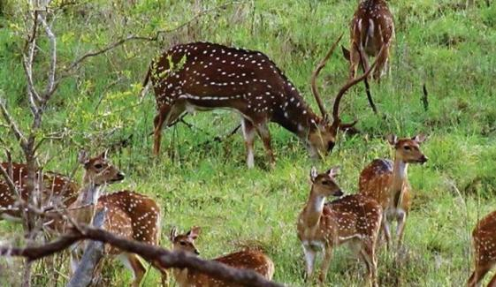 بہاولپور: نایاب نسل کے 7 ہرنوں کی ہلاکت کا نوٹس