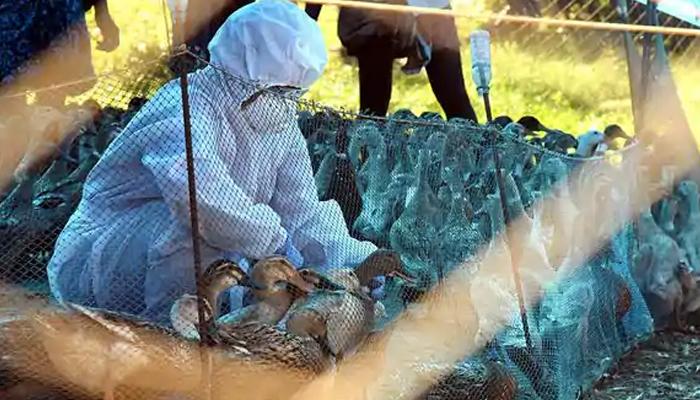 بھارت میں 800 مرغیاں مرگئیں، برڈ فلو کی تصدیق