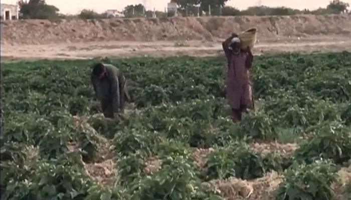 کراچی کو سبزیاں اور پھل دینے والا ملیر تباہی کے دہانے پر