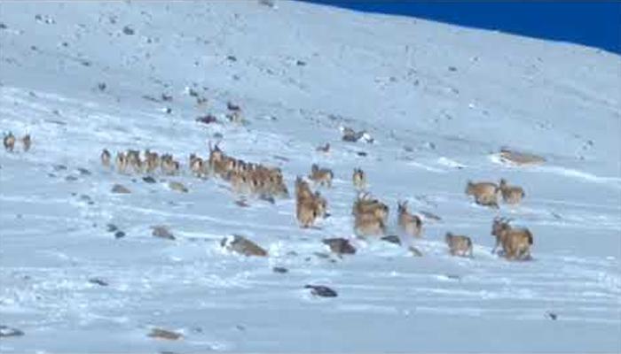 وادی ہنزہ میں50 ہمالیہ پہاڑی بکروں کی نایاب ویڈیو