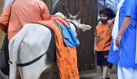 تیمور علی خان نے گائے کے سامنے ہاتھ جوڑ لیے