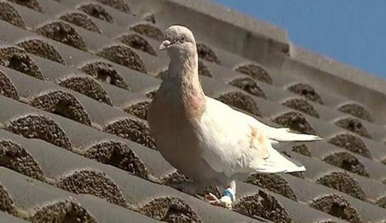 امریکا سے آسٹریلیا آنیوالے کبوتر کو مارڈالنے کا حکم