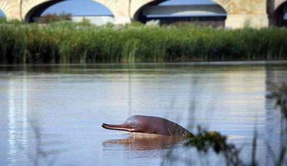 2 انڈس ڈولفنز کو دریائے سندھ میں چھوڑ دیا گیا