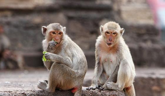 کھیتوں پر بندروں کا حملہ