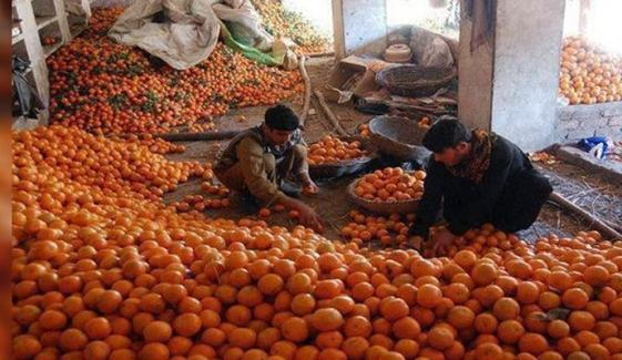 دنیا بھر میں پاکستانی کینو کی مانگ میں اضافہ