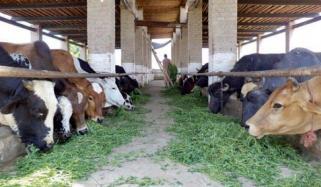 مویشیوں میں کھرکی بیماری کی روک تھام کیلئے مہم شروع