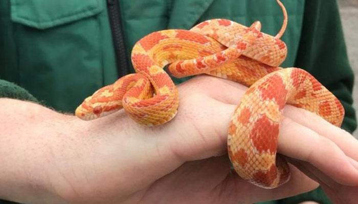 برطانیہ میں گھر سے امریکی سانپ برآمد
