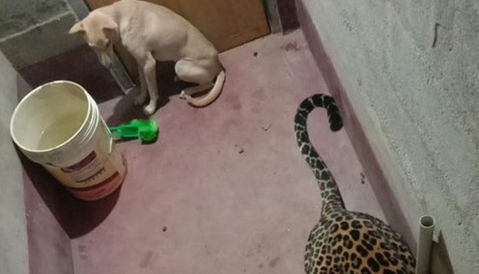 چیتا کتے کو پکڑنے کے چکر میں باتھ روم تک آگیا