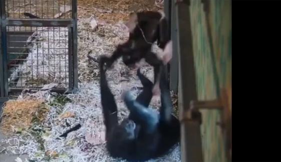 آسٹریلیا: مادہ چمپینزی کی اپنے بچے کیساتھ کھیلنے کی وڈیو