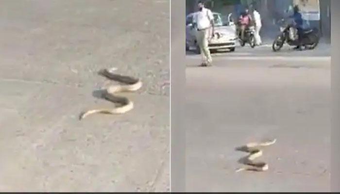 بھارت : مصروف شاہراہ پر کوبرا سانپ نکل آیا