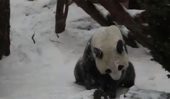 چڑیا گھر میں پانڈے کی برف سے کھلینے کی دلچسپ ویڈیو