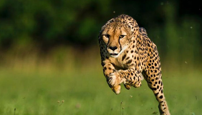 تھرپارکر میں چیتے کے حملے میں 8 افراد زخمی