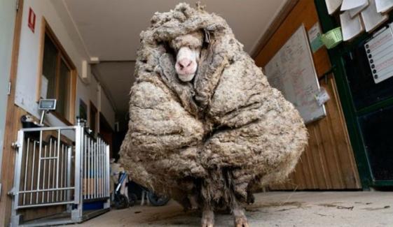 آسٹریلیا: جنگل سے ملنے والی بھیڑ کی برسوں بعد 35 کلو اون اتارلی گئی