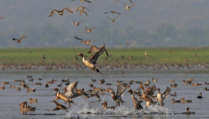 کاٹن ٹیل پرندے کو 30 سال بعد سندھ میں دیکھا گیا