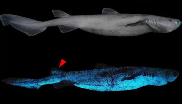 نیو زی لینڈ: اندھیرے میں چمکنے والی شارک مچھلی کی تین اقسام دریافت