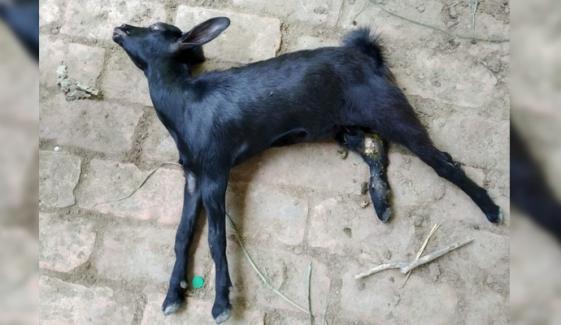 کراچی، نامعلوم جنگلی جانور کے حملے سے 5 بکریاں ہلاک
