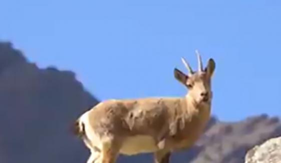 برفانی چیتے کی پہاڑی بکری کے شکار کی ویڈیو جاری
