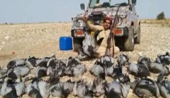 راجن پور: پابندی کے باوجود نایاب پرندے کونج کا شکار جاری
