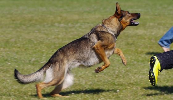 راجن پور: چھاپہ مار پولیس پر ملزمان نے کتے چھوڑ دیئے