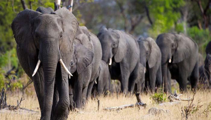 افریقی ملک بوٹسوانا میں ہاتھی کے شکار کا سیزن شروع ہوگیا