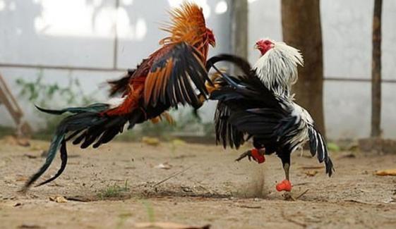 ڈسکہ: مرغوں کا نمائشی دنگل سج گیا