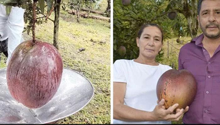 کسان نے دنیا کا سب سے وزنی آم پیدا کرکے ورلڈ ریکارڈ بنادیا