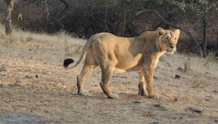 بھارت: چڑیا گھر میں آٹھ شیروں کا کورونا ٹیسٹ پازیٹو، زو بند کردیا گیا