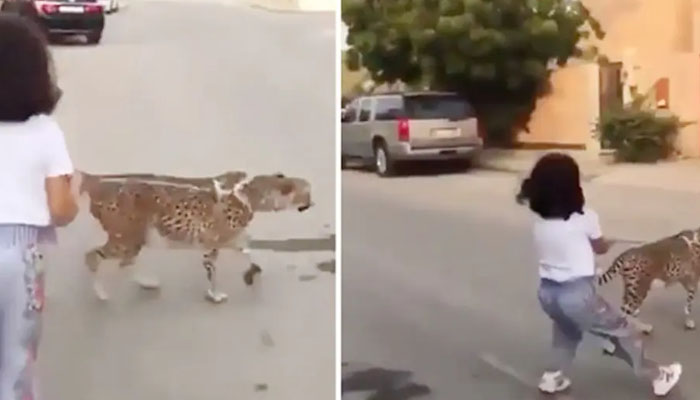 کمسن بچی کی تیندوے کو سیر کروانے کی ویڈیو وائرل
