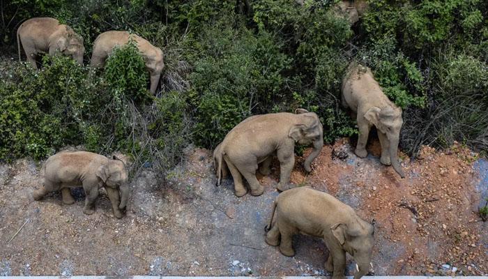 چین:جنگلی ہاتھیوں نے شہر پر قبضہ کرلیا