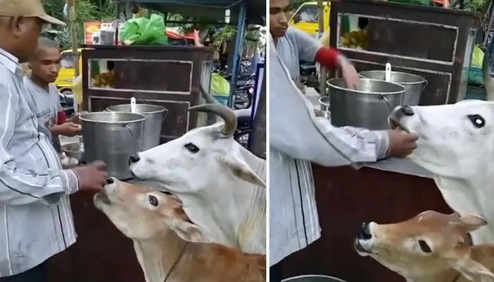 گائے اور اس کے بچے کی گول گپے کھاتے ہوئے ویڈیو وائرل