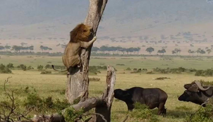 The lion climbed the tree to save his life from the wild buffalo