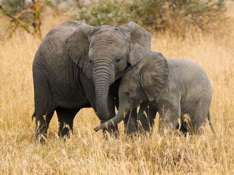 دُنیا کا سب سے بڑا جانور 'ہاتھی' کتنے سال تک زندہ رہ سکتا ہے؟