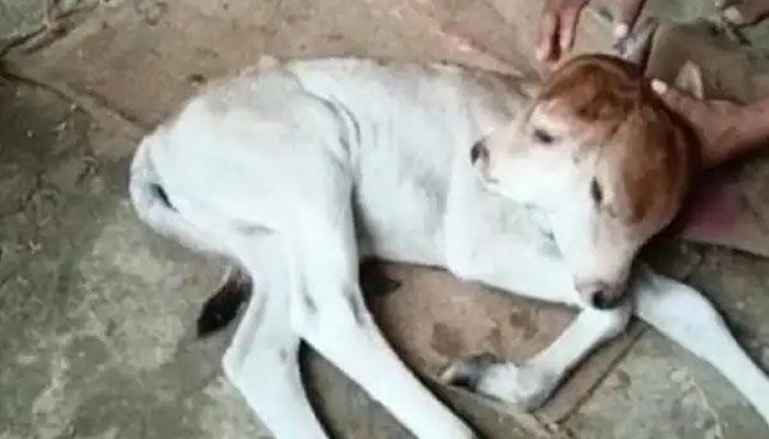 بھارت میں عجیب الخلقت بچھڑے کی پیدائش